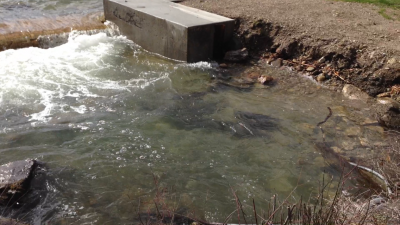 The carp getting ready to jump the dam last spring.