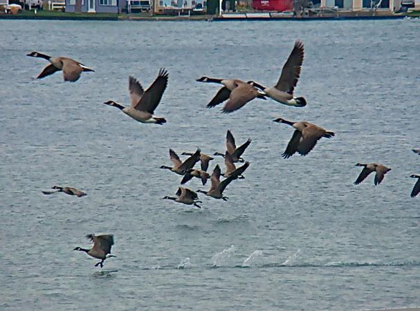Geese on Clark Lake