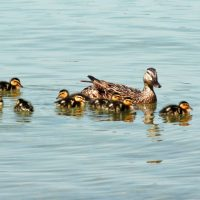 ducksps1