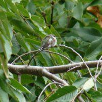 napping hummingbird