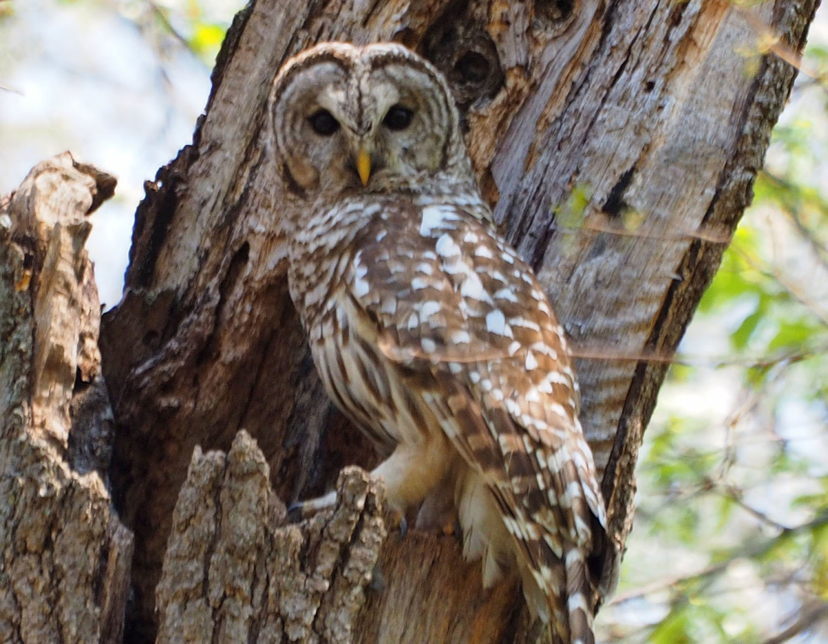 Building a Barred Owl Nest Box  MyNature Apps