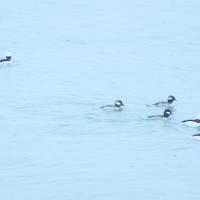 Return of the Bufflehead Ducks