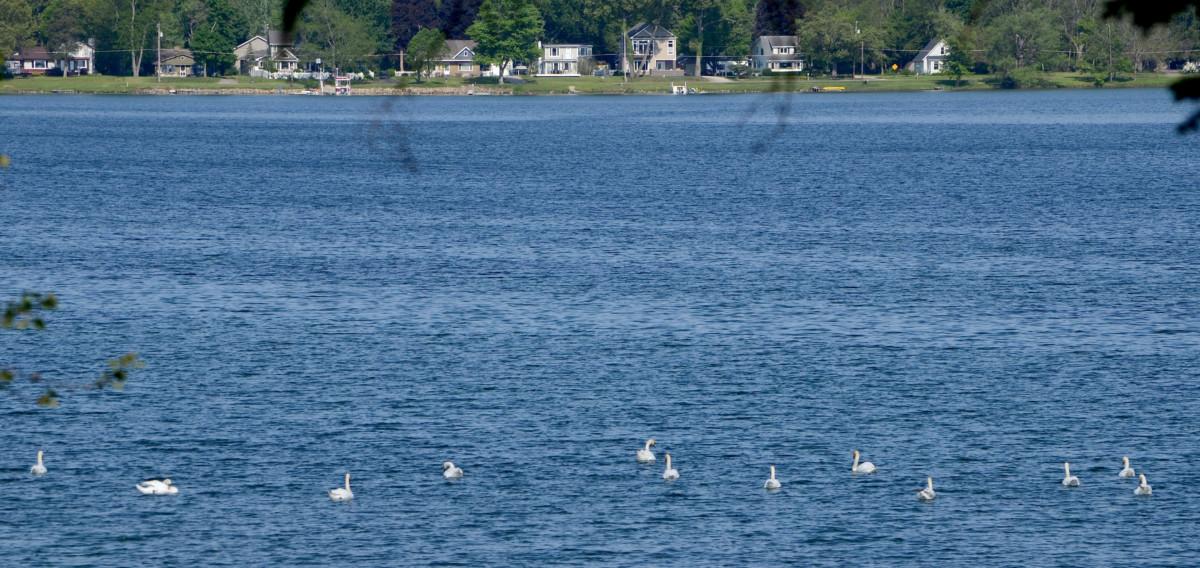 BL swans 2016 05-25