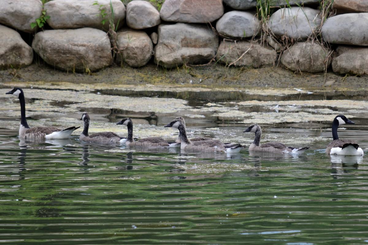 geese Christman's pond